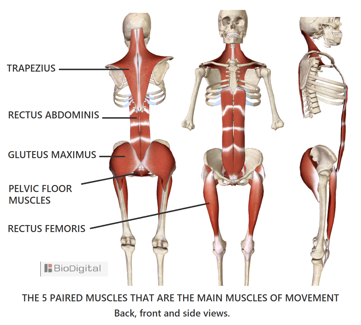 main-muscles-of-movement.png